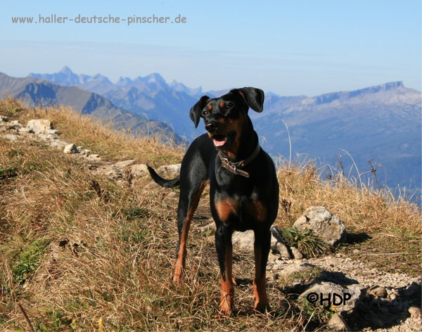 Haller Deutsche Pinscher: Duffyco's Ophelia - Internationaler Schönheits-Champion (FCI)