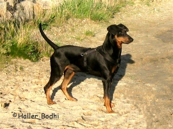 Deutscher Pinscher Rüde - Haller Bodhi - Internationaler Champion, Deutscher Champion (VDH / PSK), Ungarischer Champion, Klubsieger, Klubjugendsieger